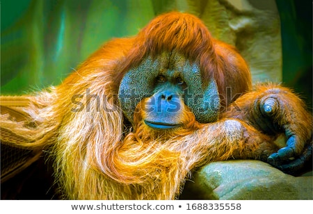 veszélyeztetett · orangután · illusztráció · gyümölcs · kerítés · grafikus - stock fotó © colematt