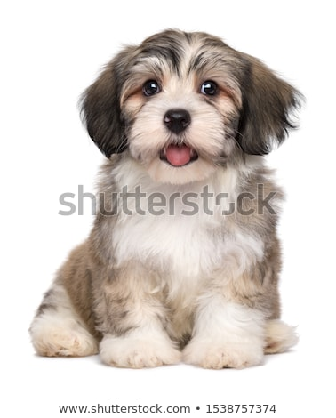cinquième · peu · chiens · chiots · séance · table - photo stock © cynoclub