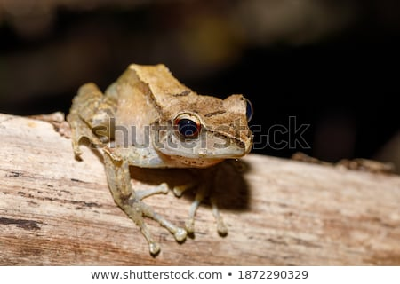 Gyönyörű kicsi béka Madagaszkár levelibéka fajok Stock fotó © artush