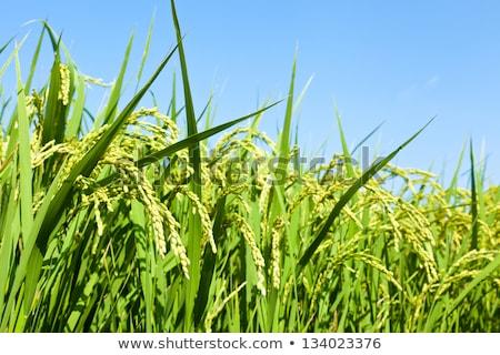 hasat · pirinç · alan · anız · ağaç · çim - stok fotoğraf © boggy