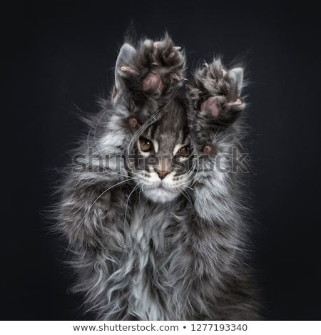 Impressive blue silver Maine Coon cat kitten  Stock photo © CatchyImages