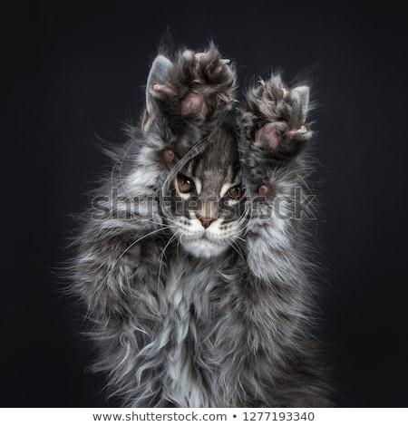 Impressionante azul prata Maine gato gatinho Foto stock © CatchyImages