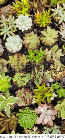 Absztrakt különböző nedvdús növények faiskola textúra Stock fotó © feverpitch