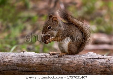 Eekhoorn moer boom voedsel natuur park Stockfoto © nomadsoul1