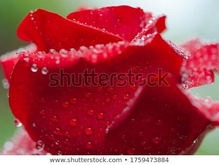 Kırmızı gül çiy damla çiçek doğa Stok fotoğraf © Alkestida