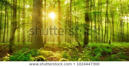 緑 森林 太陽 光 霧 秋 ストックフォト © vapi