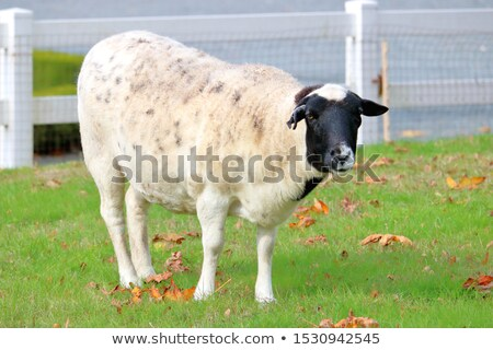 Single blackhead sheep Stock photo © Hofmeester