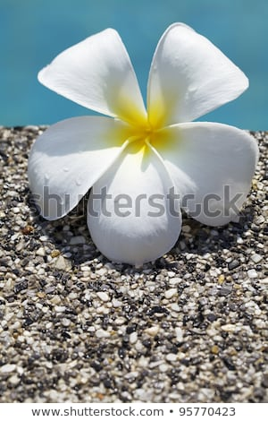 Frangipani flower in a water. Conceptual theme for spa products. Stock photo © moses