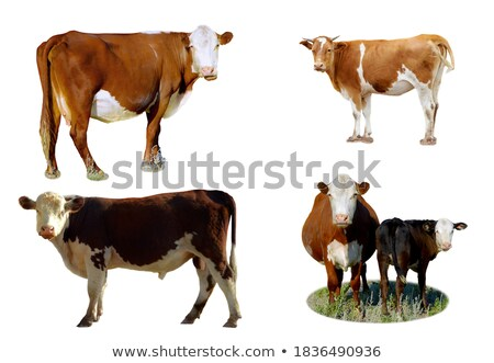 Young Cow Stock photo © bobkeenan