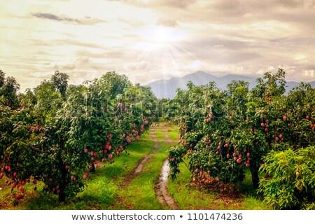 Mango tree in green field  Stock photo © ziprashantzi