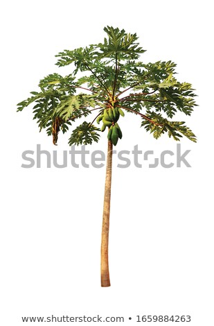 Single papaya hanging from the tree Stock photo © michaklootwijk