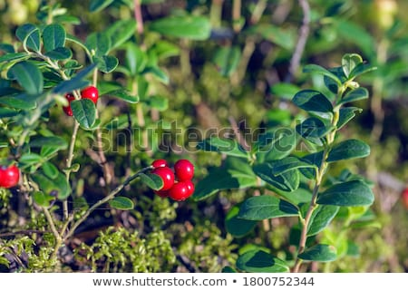 Lingonberries, lat. Vaccinium vitis idaea Stock photo © Stocksnapper