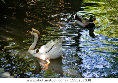 Goose Swimming On Water With A Splash Stock photo © ryhor