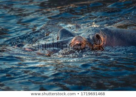 Hipopotam wody oka ciało relaks portret Zdjęcia stock © tungphoto