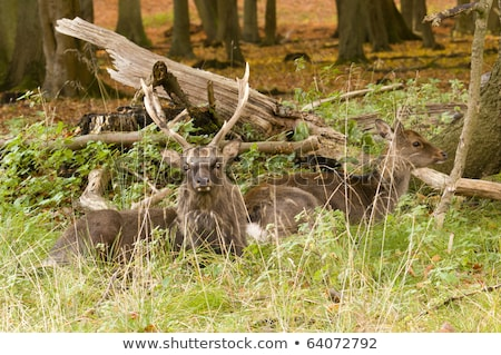 Female red deer sitting on a wood ground in autumn Stock photo © AlessandroZocc