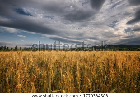 golden field of wheat and stormy clouds stock photo © lypnyk2