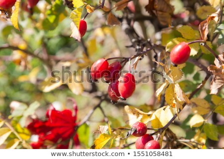 Sunlit rosehip shrub Stock photo © olandsfokus