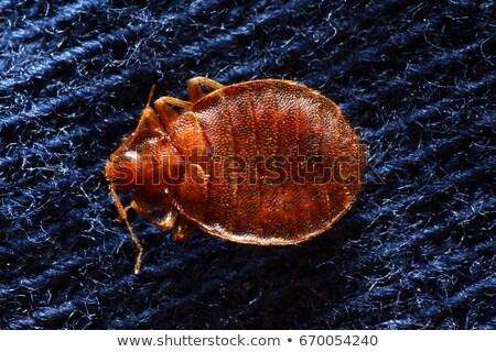 Cimicidae- Bedbug Stock photo © bluering