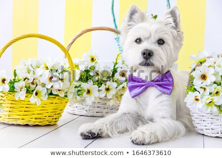 dressed puppy west highland white terrier Stock photo © cynoclub