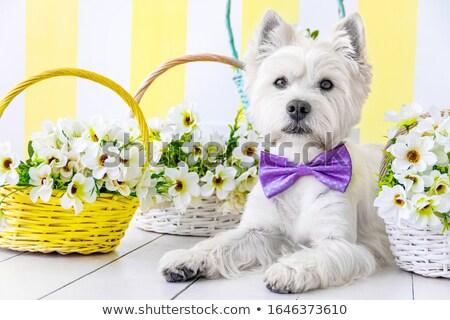 beyaz · köpek · yavrusu · noel · baba · kostüm · mutlu - stok fotoğraf © cynoclub
