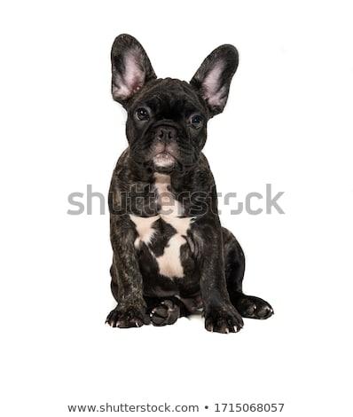 francia · bulldog · kutya · közelkép · fehér · háttér - stock fotó © OleksandrO