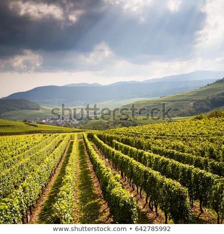 Stock photo: Grapevine In Vineyard Gewurztraminer Alsace France