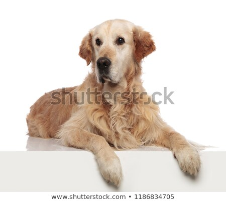 curious labrador lying with paws hanging over the edge Stock photo © feedough