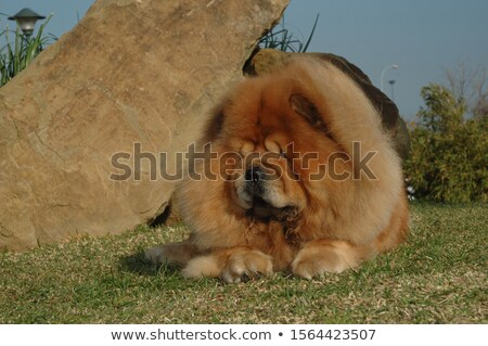side view of a  chow chow puppy dog's furry head Stock photo © feedough