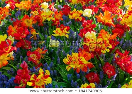 Tulipanes variedad primavera Foto stock © neirfy