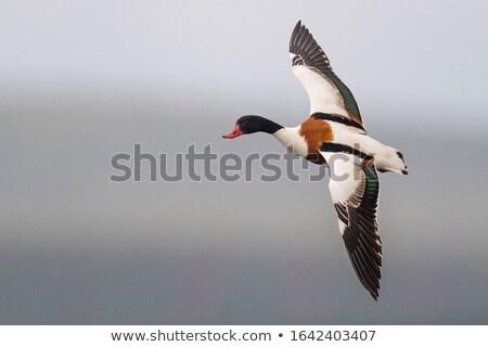 Flying Common Shelduck, Tadorna tadorna Stock photo © Qingwa
