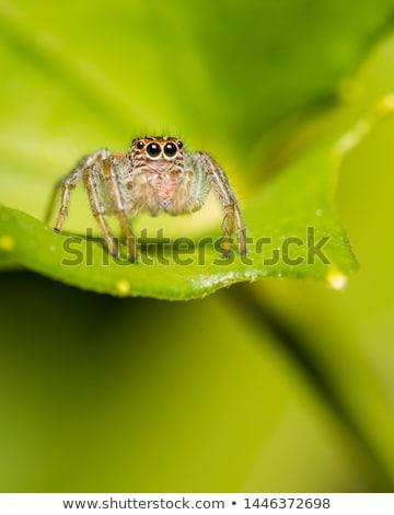 barna · pók · zöld · fal · makró · természet - stock fotó © sweetcrisis