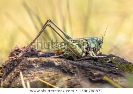bush-cricket Stock photo © vaeenma