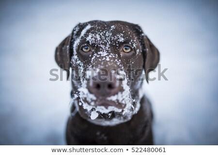 犬 雪 ゴールデンレトリバー を実行して ボール 口 ストックフォト © Talanis