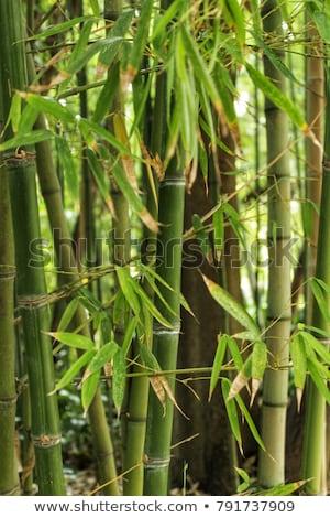 Bamboo cane green plantation stock photo © lunamarina