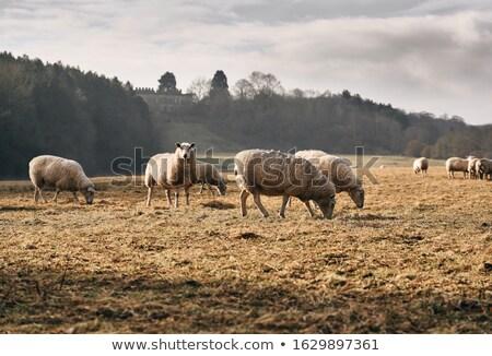 овец осень луговой свет деревья лет Сток-фото © tainasohlman