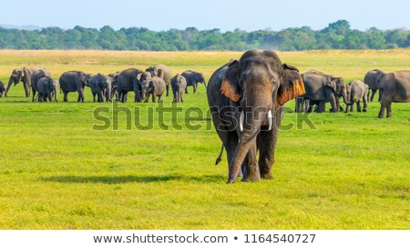 a young elephant in a herd stock photo © hofmeester