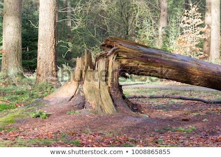 ölü ağaç kozalaklı Stok fotoğraf © derocz