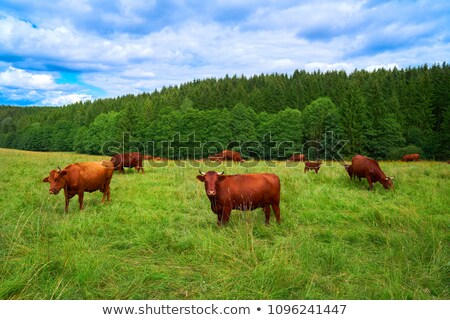 Cows grazing in green pasture Stock photo © jaykayl