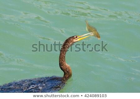 Anhinga Bird Stock photo © saddako2