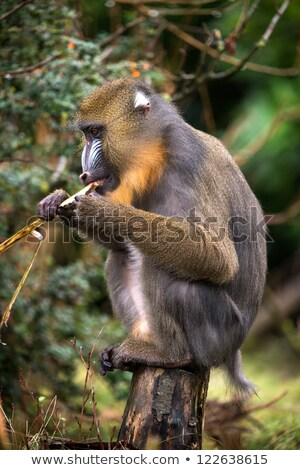 Mandrill (Mandrillus Sphinx) eating  Stock photo © dariazu