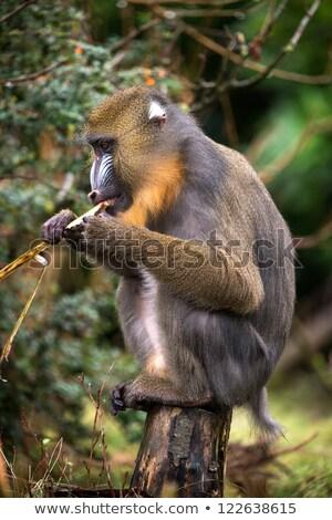 mandrill mandrillus sphinx eating stock photo © dariazu