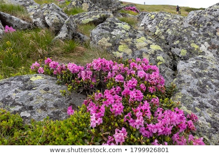 Blooming rhododendron in the mountains Stock photo © Kotenko