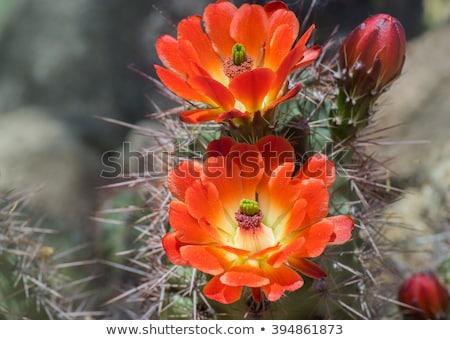 Kövek virágok kaktusz Madeira sziget hegy Stock fotó © compuinfoto