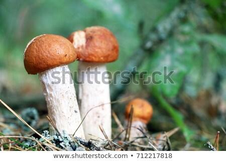 growing three little ceps close-up Stock photo © romvo