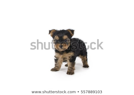 Yorkshire terriyer köpek yavrusu çay fincanı çok güzel portre Stok fotoğraf © tobkatrina