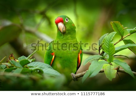 green parakeet with red beak  Stock photo © compuinfoto