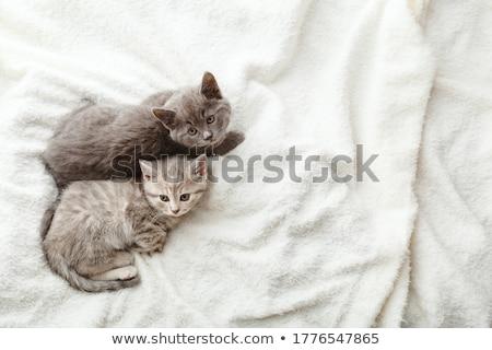 Kettő fajtiszta kiscicák izolált fehér stúdiófelvétel Stock fotó © vapi