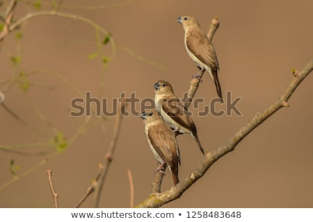 Africano arbusto Havaí EUA verão pássaro Foto stock © dirkr
