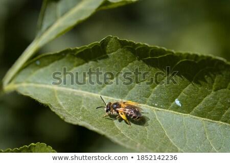 Méh zöld levél tele virágpor citromsárga homály Stock fotó © simply