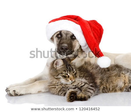 kırmızı · beyaz · kedi · şapka - stok fotoğraf © feedough